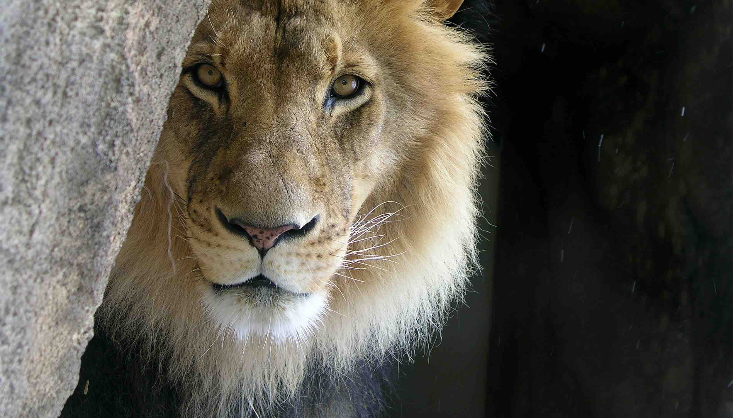 Denver Zoo visit things to do in downtown denver lion - ray-grau-unsplash